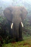 有薄雾的大象 免版税库存照片