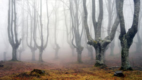 有薄雾的山毛榉森林 库存图片