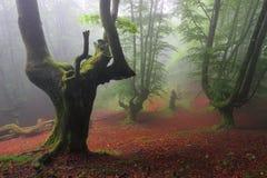 有薄雾的山毛榉的木材在Orozko (比斯开湾,巴斯克地区) 免版税图库摄影