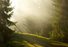 有薄雾的早晨在森林里 库存图片