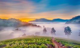 有薄雾的早晨在doi angkhang山的草莓农场,沥青 库存图片