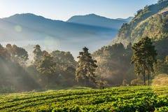 有薄雾的早晨在doi angkhang的草莓庭院里 免版税库存图片