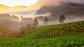 有薄雾的早晨日出在土井Ang泰国缅甸边界, Chiangmai,泰国khang山的草莓庭院里  免版税库存照片