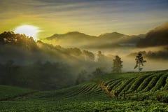 有薄雾的早晨日出在土井Ang khang moun的草莓庭院里 免版税库存照片