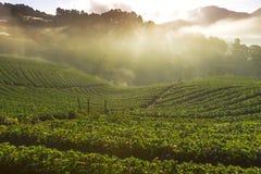 有薄雾的早晨日出在土井Ang khang moun的草莓庭院里 库存照片