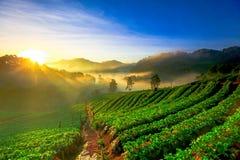 有薄雾的早晨日出在土井Ang khang moun的草莓庭院里 图库摄影