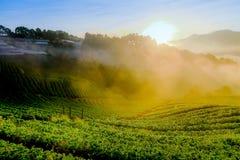 有薄雾的早晨日出在土井Ang khang moun的草莓庭院里 库存图片