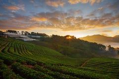 有薄雾的早晨日出在土井Angk吊moun的草莓庭院里 免版税库存图片