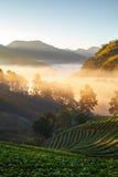 有薄雾的早晨日出在土井Angkhang的草莓庭院里 库存图片