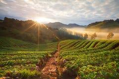 有薄雾的早晨日出在土井Angkhang的草莓庭院里 图库摄影