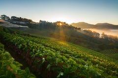 有薄雾的早晨日出在土井Angkhang的草莓庭院里 免版税库存照片