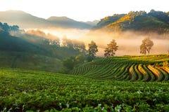 有薄雾的早晨日出在土井Angkhang的草莓庭院里 库存照片
