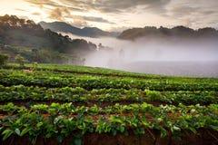 有薄雾的早晨日出在土井Angkhang moun的草莓庭院里 免版税库存图片
