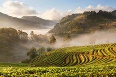 有薄雾的早晨日出在土井Angkhang moun的草莓庭院里 免版税库存照片