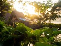 有薄雾的早晨日出在草莓庭院里 库存照片
