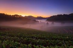 有薄雾的早晨日出在doi angkhang的草莓庭院里 免版税图库摄影