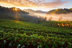 有薄雾的早晨日出在doi angkhang的草莓庭院里 免版税库存照片