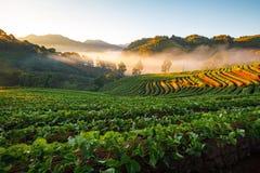 有薄雾的早晨日出在doi angkhang的草莓庭院里 免版税库存图片