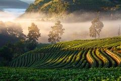 有薄雾的早晨日出在doi angkhang的草莓庭院里 库存图片