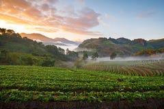 有薄雾的早晨日出在doi angkhang的草莓庭院里 库存照片