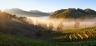 有薄雾的早晨日出在doi angkhang登上的草莓庭院里 图库摄影