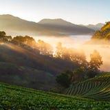 有薄雾的早晨日出在doi angkhang登上的草莓庭院里 免版税图库摄影