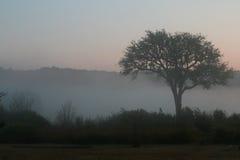 有薄雾的早晨结构树 免版税图库摄影
