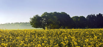 有薄雾的早晨黄色强奸领域 免版税库存图片