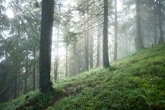 有薄雾的杉木森林在软的阳光下 库存照片