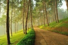 有薄雾的杉木森林 免版税库存照片