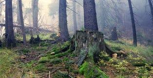 有薄雾的森林。 库存图片