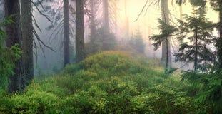 有薄雾的森林。 免版税库存照片