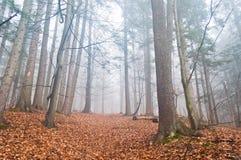 有薄雾的森林在与干燥叶子的秋天在地面 库存图片