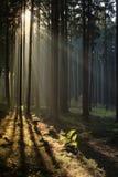 有薄雾的森林 免版税库存照片
