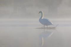 有薄雾的疣鼻天鹅 库存图片