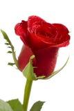 有薄雾的红色玫瑰 库存照片