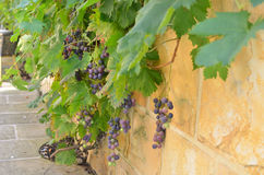 有藤和葡萄的墙壁 库存图片