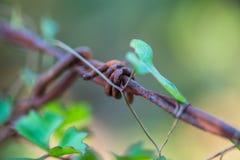 有藤生长的生锈的铁丝网篱芭 库存图片