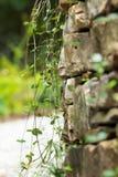 有藤的岩石墙壁 库存照片