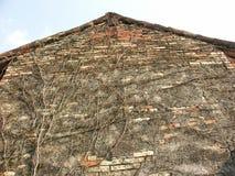 有藤的老谷仓墙壁 库存照片