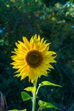 有蜂的一个向日葵头坐它 免版税图库摄影