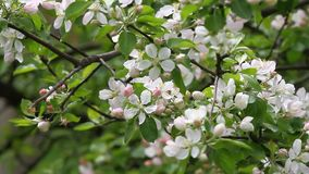 有蜂的开花的果树园在春天有野生鸟歌曲的  开花的果树园树 背景蒲公英充分的草甸春天黄色 春天果树园 股票录像