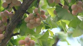 有蝉` s蜂声的银杏树坚果 影视素材