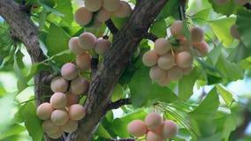 有蝉` s蜂声的银杏树坚果 股票录像