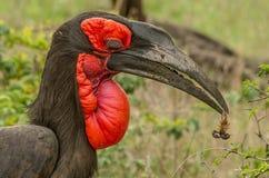 有蝎子的罕见的地面犀鸟kruger公园南非 免版税库存照片