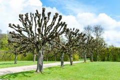 有被修剪树枝的春天树的胡同在装饰庭院里 库存照片
