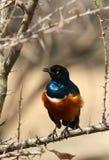 有被翻动的羽毛的雄伟椋鸟科 免版税库存照片