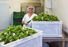 有裁减阔叶蔬菜的厨师在医院厨房里 免版税库存照片