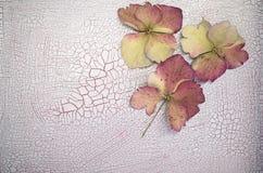 有裂痕的油漆表面上的八仙花属瓣 免版税库存照片