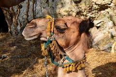 有装饰品的骆驼头 免版税库存图片